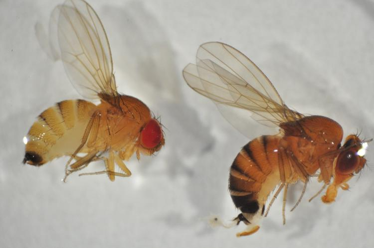 Sustainable control of Drosophila suzukii in cherries, strawberries and ligneous small fruits