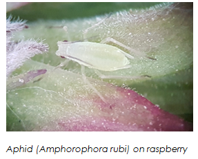 Innovative biological aphid control in the protected cultivation of sweet pepper and berries (BIOTRACT)