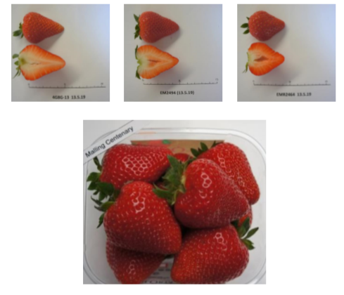 Varietal renewal in strawberries and small fruit in function of the customer (GMO)