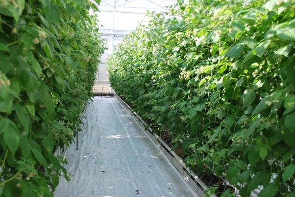 Operational group - Fertigation autumn raspberry: every element at the right time