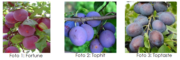 Towards a competitive, recognisable and contiguous plum supply