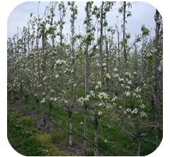 Improving harvest security and fruit quality in pears by optimising the pollination process