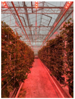 Tackling crop specific problems and developing innovative developments for strawberries and small fruit (CMO)