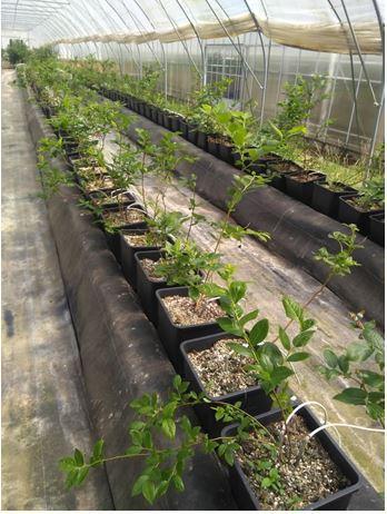 Screenen en testen van nieuwe rassen aardbeien en houtig kleinfruit