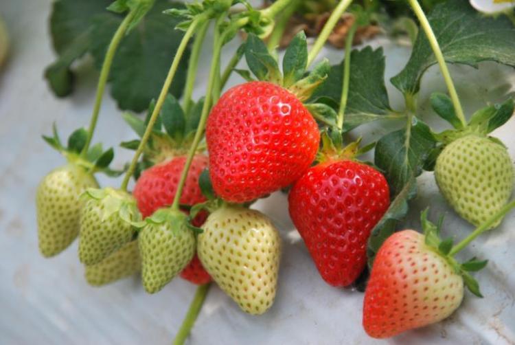 Ontwikkeling van economisch en ecologisch duurzame teelttechnieken voor aardbeien en houtig kleinfruit