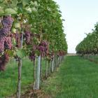 Eerste oogst druiven