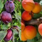 Teeltgidsen pruim en abrikoos vanaf nu online beschikbaar!