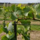 Reportage 'Wijnbouw in opmars'